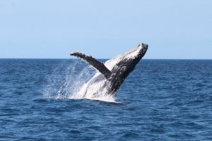 A whale breaching just off the back of the boat.
