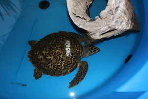 A hawksbill turtle named Ferdie.