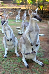 Gorgeous pretty faced wallabies.