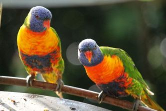 Rainbow lorikeets coming in for breakfast.