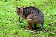A little wild pademelon at our feet.