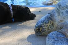 Dodge resting with Tina, our 110kg sea turtle