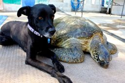Keeping watch of her little buddy 'Laura' the 60kg green turtle