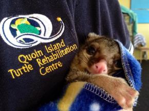 Juliette, a possum joey I cared for on Quoin Island.
