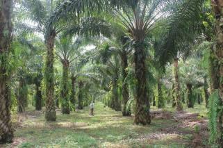 Palm oil plantations in a Sumatran village.
