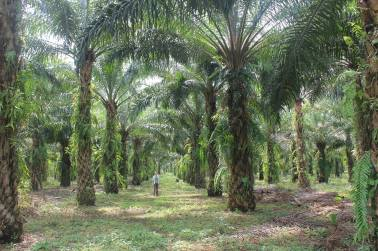 Palm oil plantations in a Sumatran village.