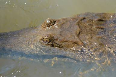 Freshwater crocodile on our crocodile camp in Cape York.