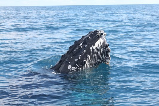 An adult humpback whale in Platypus Bay.