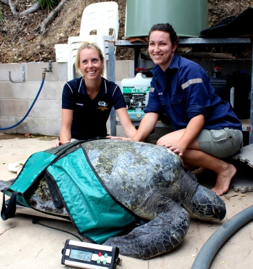 Tina, 100kg green turtle ready for release.