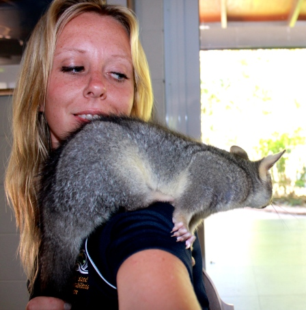 Little Juliette, a rehabilitated brushtail possum in my care on Quoin Island.