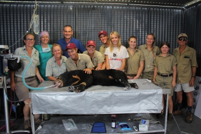 Maly the sun bear under anaesthetic with the Taronga Zoo crew.