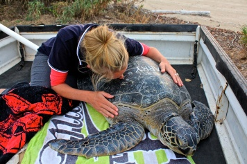 Saying farewell to Harry, an adult green turtle ready for release.