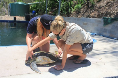 Ready for release, a sea turtle gets it's final measurements before going back home.