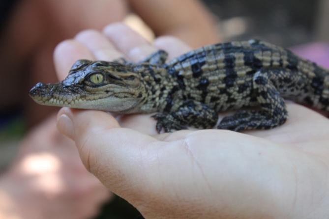 Newly hatched Siamese crocodiles in Cambodia.