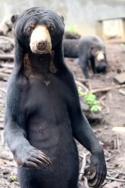 Johnny the Sun bear at Kalaweit in Sumatra.